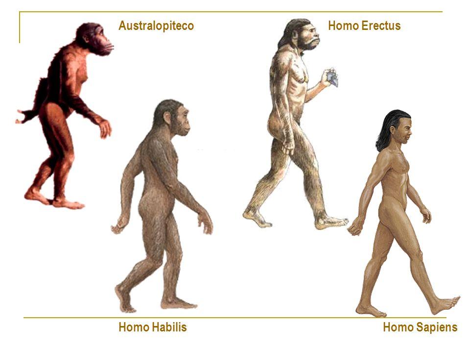 O Gênero Homo O Homo Habilis inventou as primeiras ferramentas e viveu há aproximadamente 2 milhões de anos.