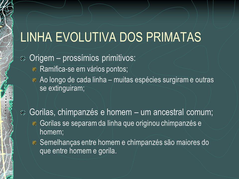 LINHA EVOLUTIVA DOS PRIMATAS Origem – prossímios primitivos: Ramifica-se em vários pontos; Ao longo de cada linha – muitas espécies surgiram e outras se extinguiram; Gorilas, chimpanzés e homem – um ancestral comum; Gorilas se separam da linha que originou chimpanzés e homem; Semelhanças entre homem e chimpanzés são maiores do que entre homem e gorila.