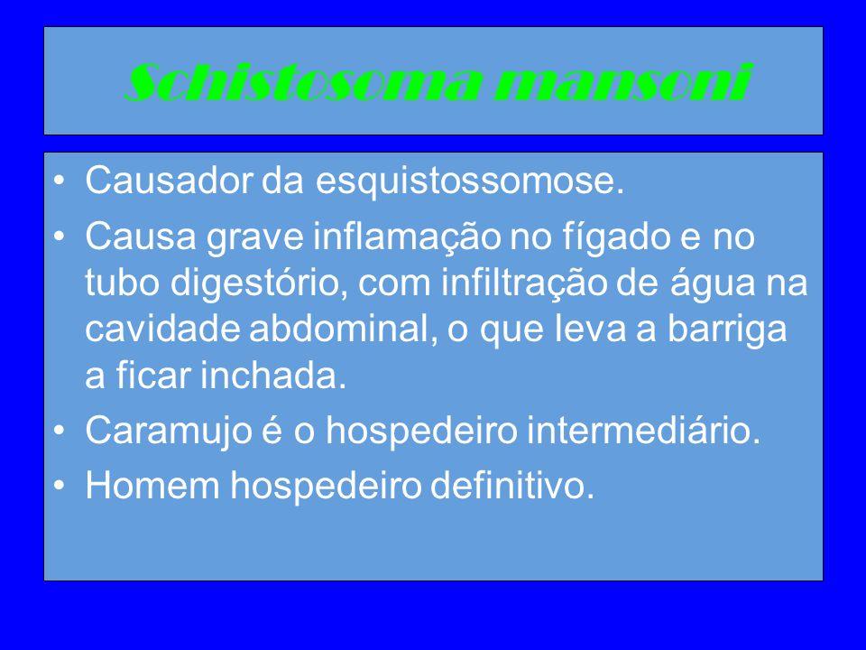 Schistosoma mansoni Causador da esquistossomose. Causa grave inflamação no fígado e no tubo digestório, com infiltração de água na cavidade abdominal,