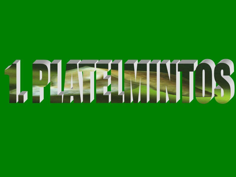 Principais Características do Filo Platelmintos Platelminto (plati = chato; helminto = verme) Vermes com corpo achatado.