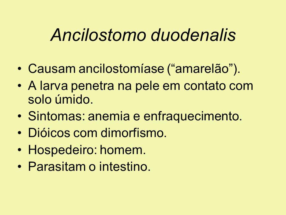 Ancilostomo duodenalis Causam ancilostomíase (amarelão). A larva penetra na pele em contato com solo úmido. Sintomas: anemia e enfraquecimento. Dióico