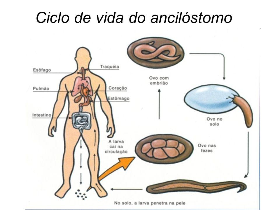 Ciclo de vida do ancilóstomo