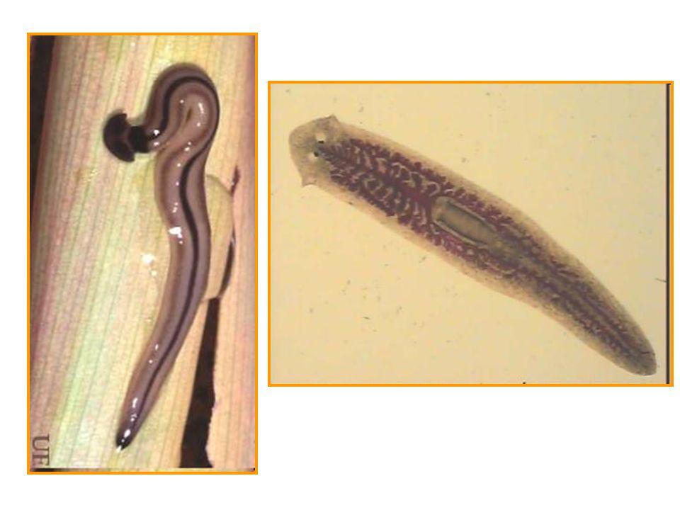 Principal exemplo é a Taenia solium, parasita o que vive no intestino humano, fixa-se por ganchos quitinosos presentes no escólex e com um tronco com centenas de proglotes.