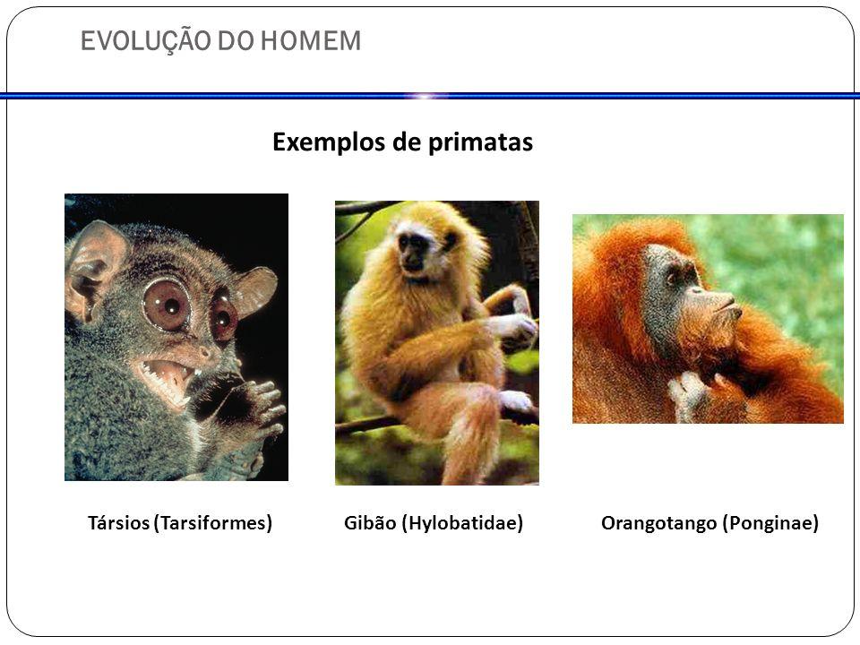 EVOLUÇÃO DO HOMEM Exemplos de primatas Társios (Tarsiformes)Gibão (Hylobatidae)Orangotango (Ponginae)