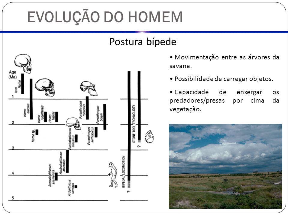 EVOLUÇÃO DO HOMEM Postura bípede Movimentação entre as árvores da savana.