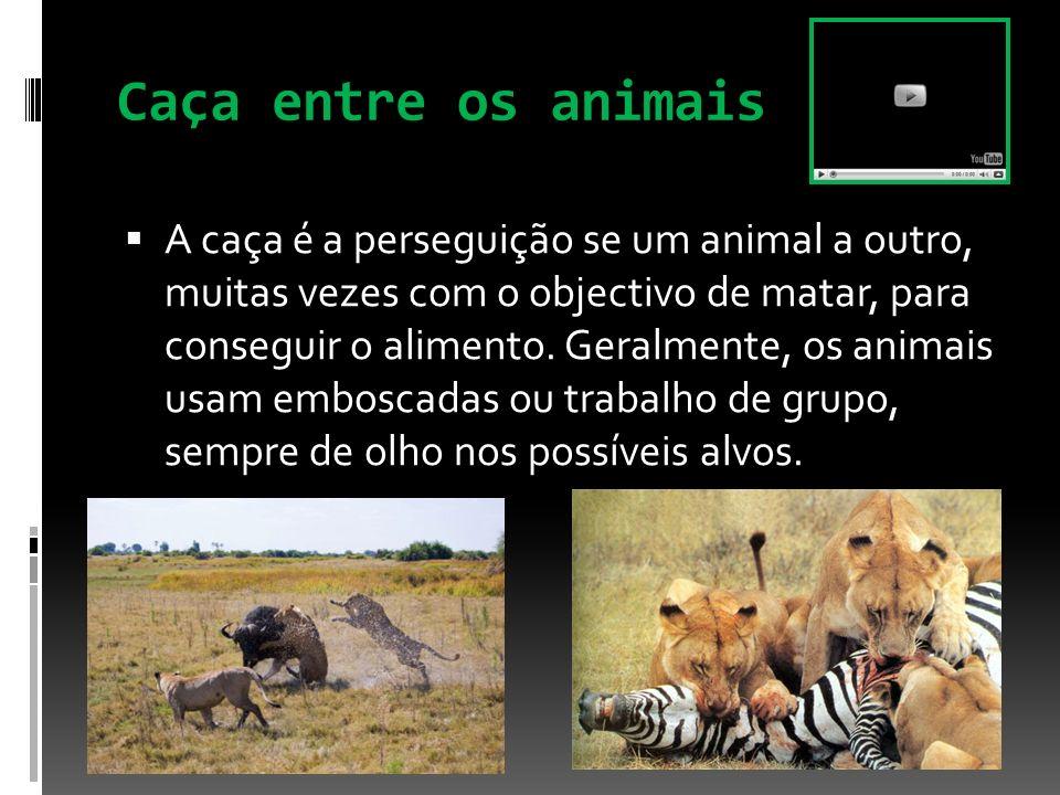 Caça entre os animais A caça é a perseguição se um animal a outro, muitas vezes com o objectivo de matar, para conseguir o alimento. Geralmente, os an