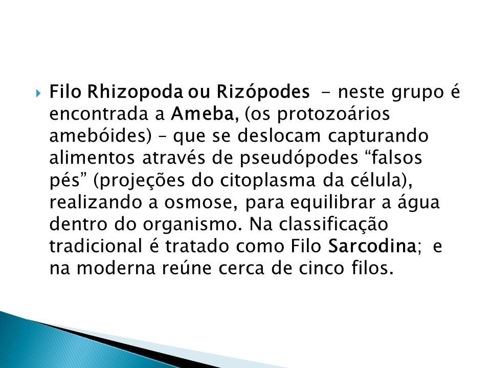 Filo Rhizopoda ou Rizópodes - neste grupo é encontrada a Ameba, (os protozoários amebóides) – que se deslocam capturando alimentos através de pseudópo