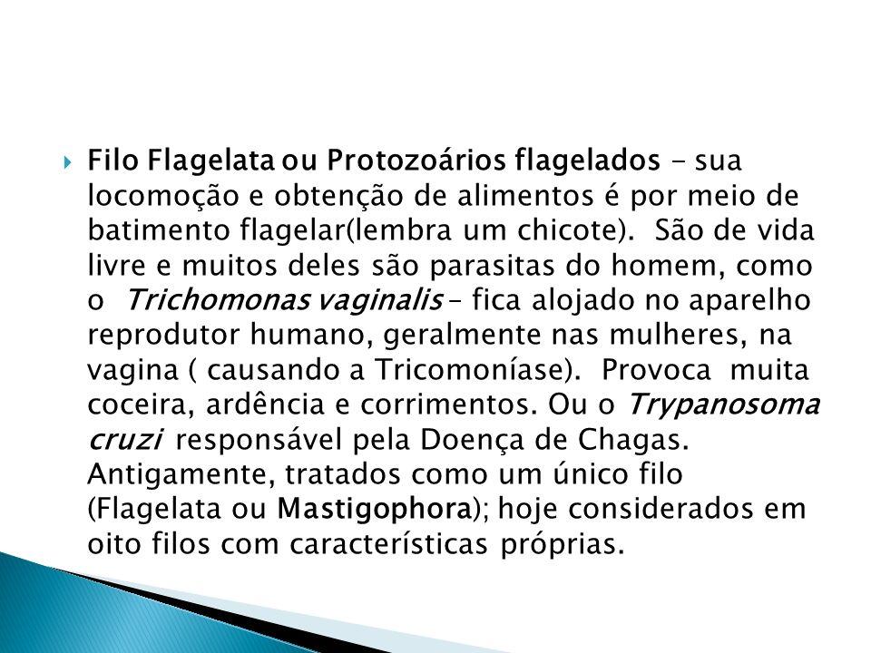 Filo Flagelata ou Protozoários flagelados - sua locomoção e obtenção de alimentos é por meio de batimento flagelar(lembra um chicote). São de vida liv