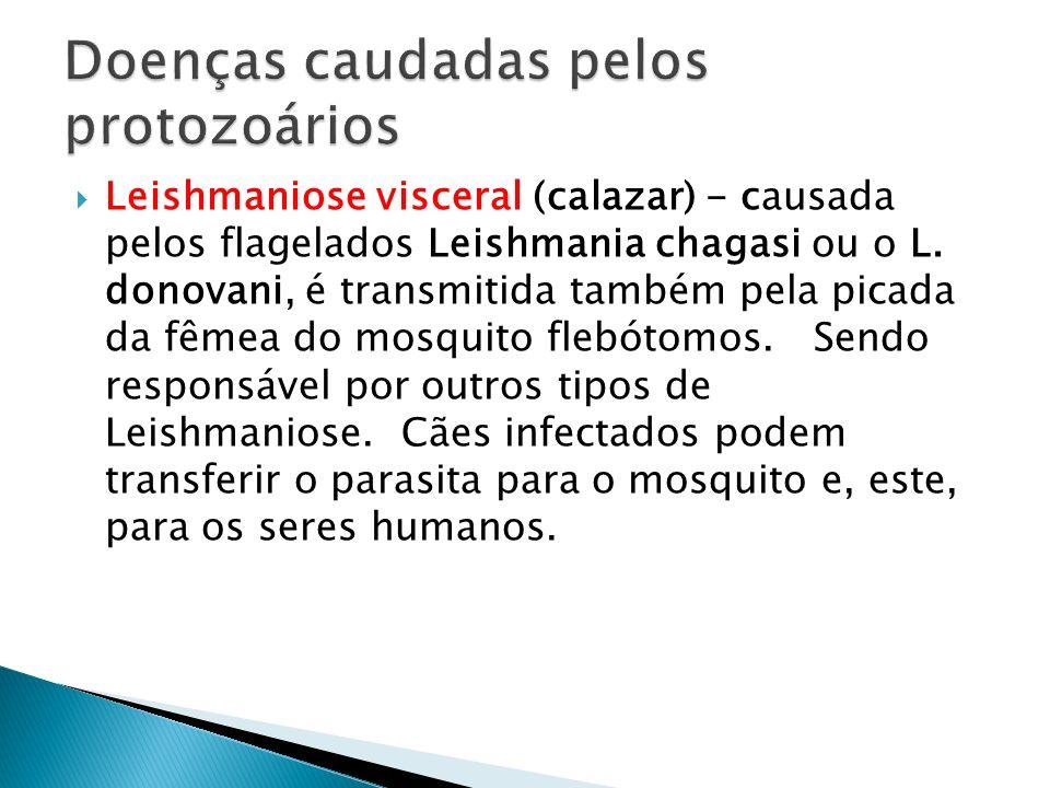 Leishmaniose visceral (calazar) - causada pelos flagelados Leishmania chagasi ou o L. donovani, é transmitida também pela picada da fêmea do mosquito