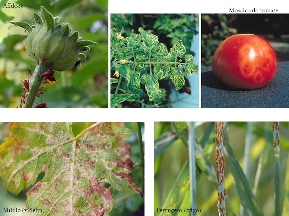 Afídeos Mosaico do tomate Míldio (videira)Ferrugem (trigo)