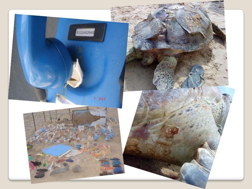 Segundo portaria nº 10, emitida pelo Ibama no ano de 1996, é proibido o tráfego de veículos em áreas de desova das tartarugas, contendo os seguintes itens: 1º - Matar as tartarugas atropeladas; 2º - impedir que as tartarugas saiam da água para desovar, pois elas se assustam com as luzes e o barulho do motor; 3º Endurecer a areia e impedindo as tartarugas de cavarem para pôr os ovos; 4º - Passar por cima dos ninhos arrebentando os ovos; 5º - Endurecer a areia e impedir que os filhotes cavem para sair, e acabem morrendo no próprio ninho.