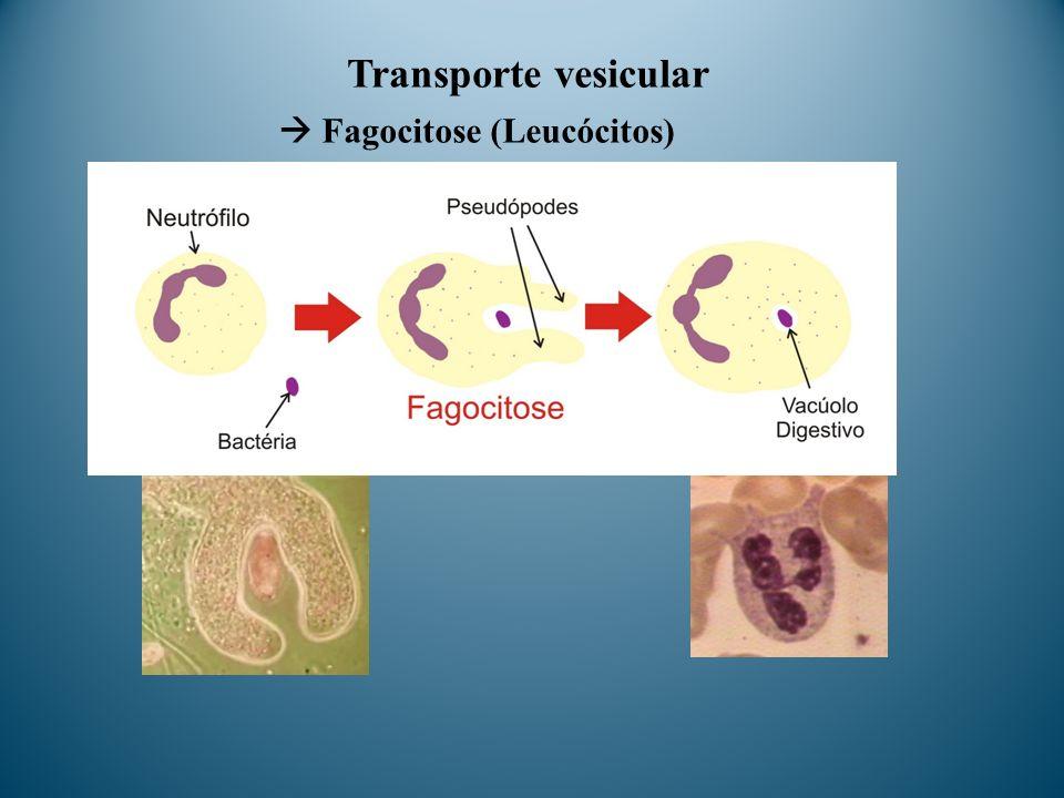 Transporte vesicular Fagocitose (Leucócitos)
