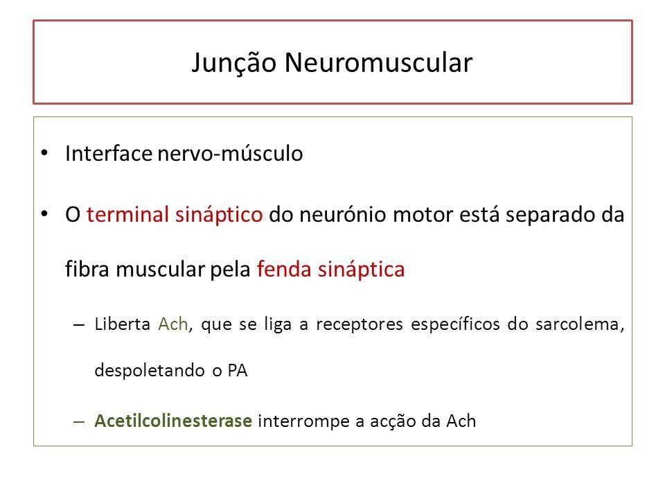 Junção Neuromuscular Interface nervo-músculo O terminal sináptico do neurónio motor está separado da fibra muscular pela fenda sináptica – Liberta Ach