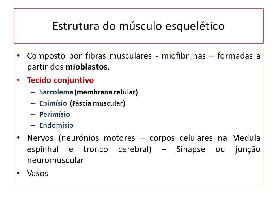 Estrutura do músculo esquelético Composto por fibras musculares - miofibrilhas – formadas a partir dos mioblastos, Tecido conjuntivo – Sarcolema (memb
