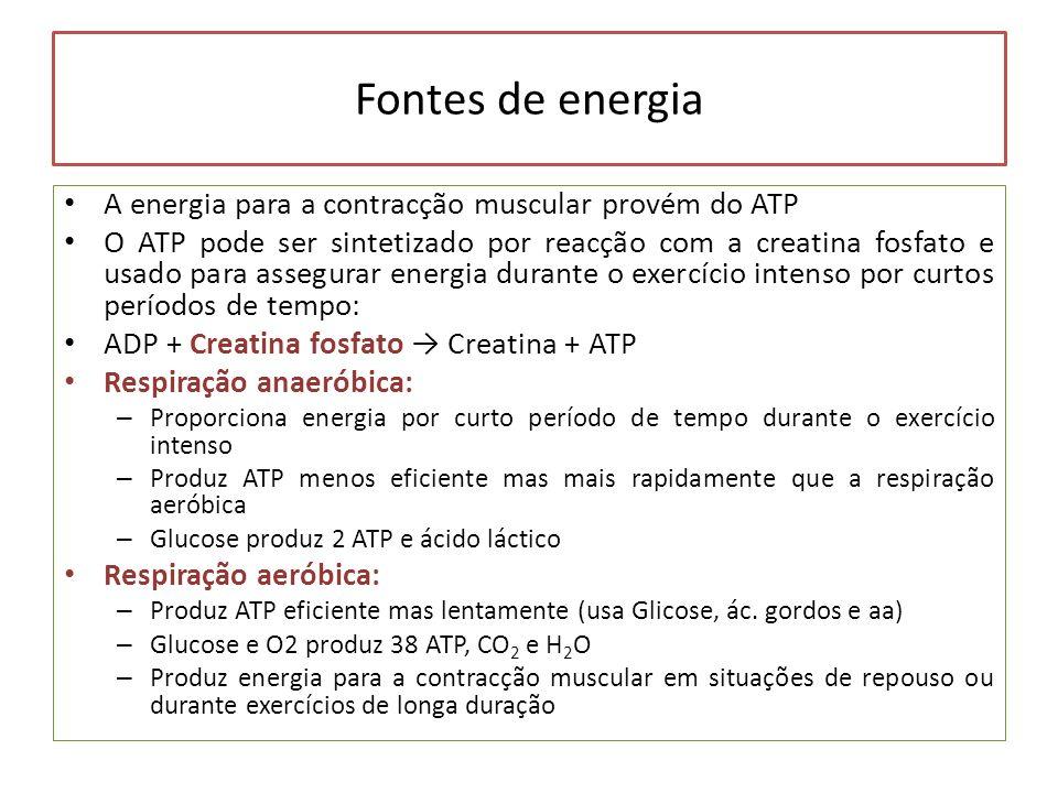 Fontes de energia A energia para a contracção muscular provém do ATP O ATP pode ser sintetizado por reacção com a creatina fosfato e usado para assegu