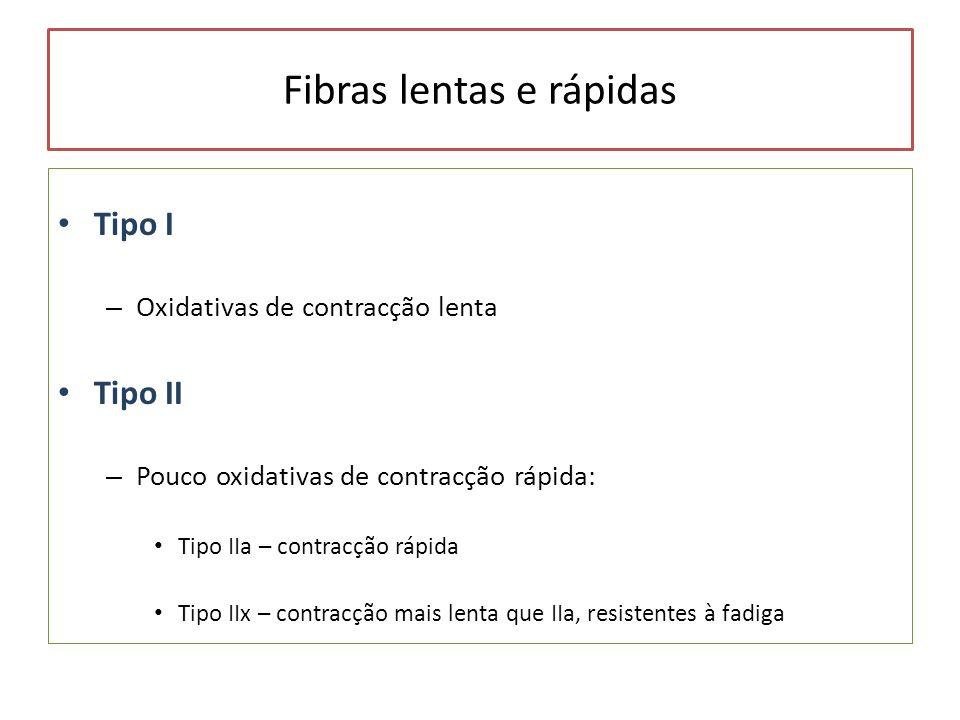Fibras lentas e rápidas Tipo I – Oxidativas de contracção lenta Tipo II – Pouco oxidativas de contracção rápida: Tipo IIa – contracção rápida Tipo IIx