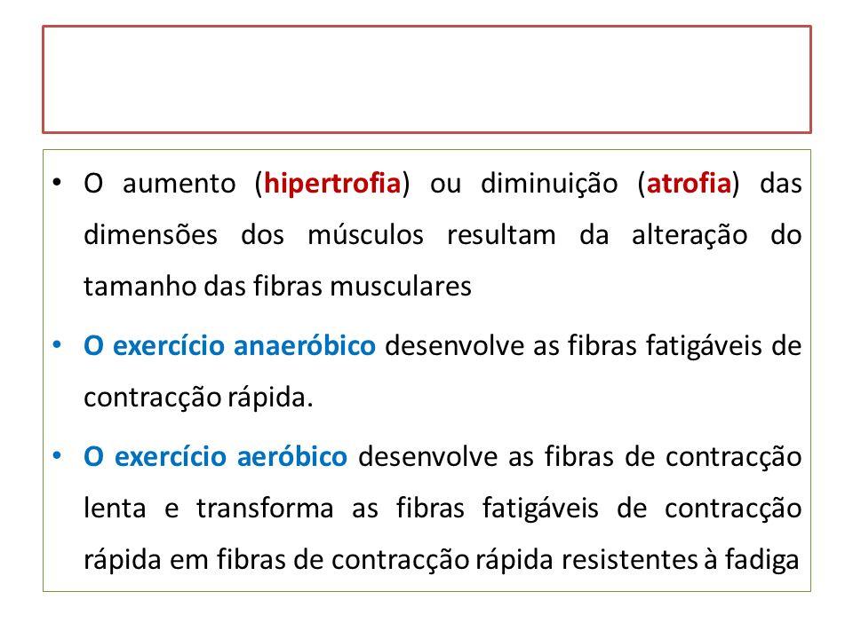 O aumento (hipertrofia) ou diminuição (atrofia) das dimensões dos músculos resultam da alteração do tamanho das fibras musculares O exercício anaeróbi