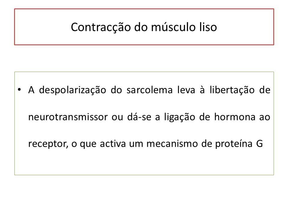 Contracção do músculo liso A despolarização do sarcolema leva à libertação de neurotransmissor ou dá-se a ligação de hormona ao receptor, o que activa