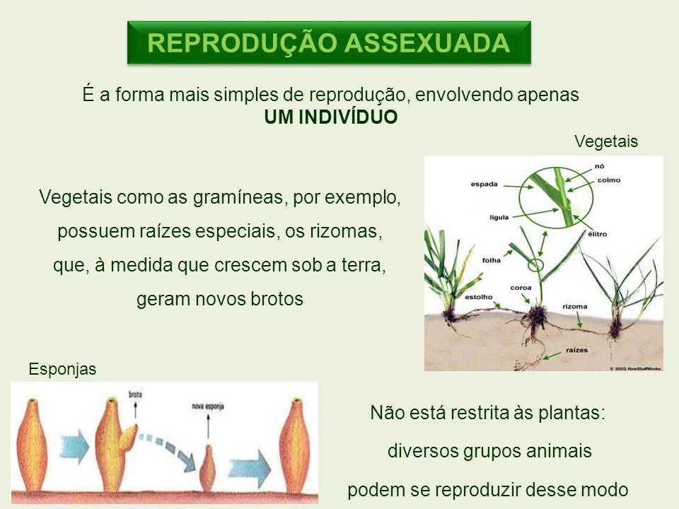 Esponjas Vegetais Vegetais como as gramíneas, por exemplo, possuem raízes especiais, os rizomas, que, à medida que crescem sob a terra, geram novos br