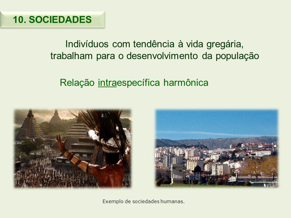 Indivíduos com tendência à vida gregária, trabalham para o desenvolvimento da população Relação intraespecífica harmônica 10. SOCIEDADES Exemplo de so