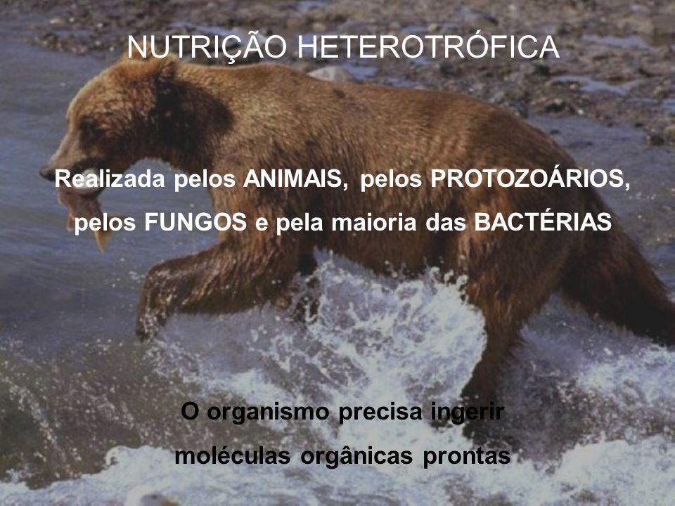 NUTRIÇÃO HETEROTRÓFICA Realizada pelos ANIMAIS, pelos PROTOZOÁRIOS, pelos FUNGOS e pela maioria das BACTÉRIAS O organismo precisa ingerir moléculas or