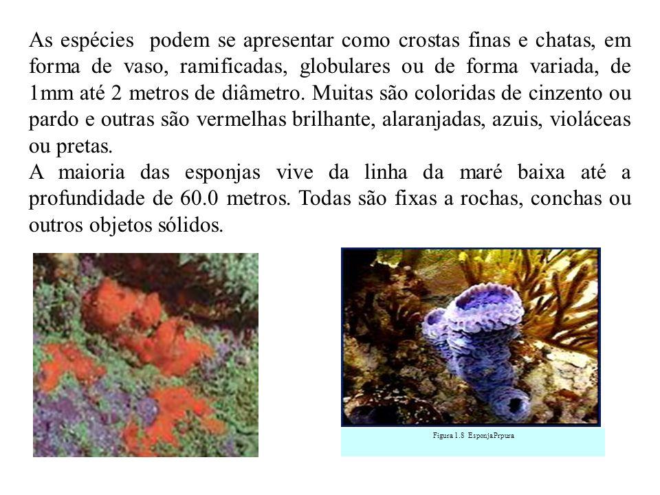 As espécies podem se apresentar como crostas finas e chatas, em forma de vaso, ramificadas, globulares ou de forma variada, de 1mm até 2 metros de diâmetro.