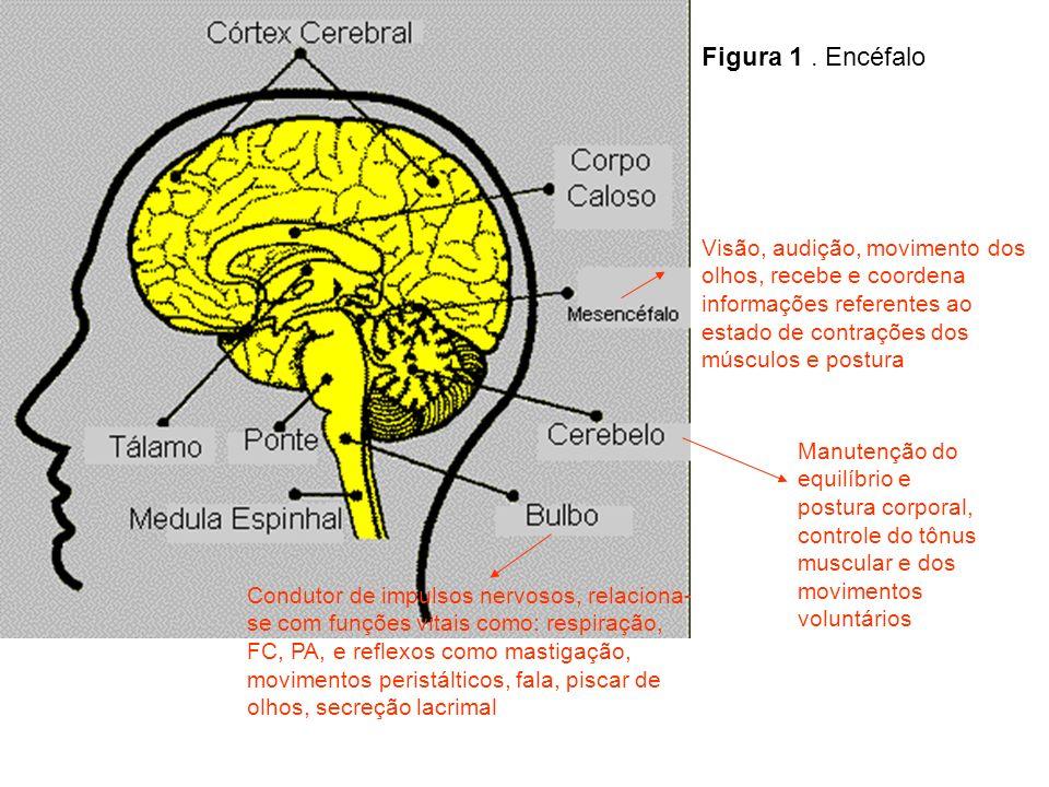 Figura 1. Encéfalo Condutor de impulsos nervosos, relaciona- se com funções vitais como: respiração, FC, PA, e reflexos como mastigação, movimentos pe