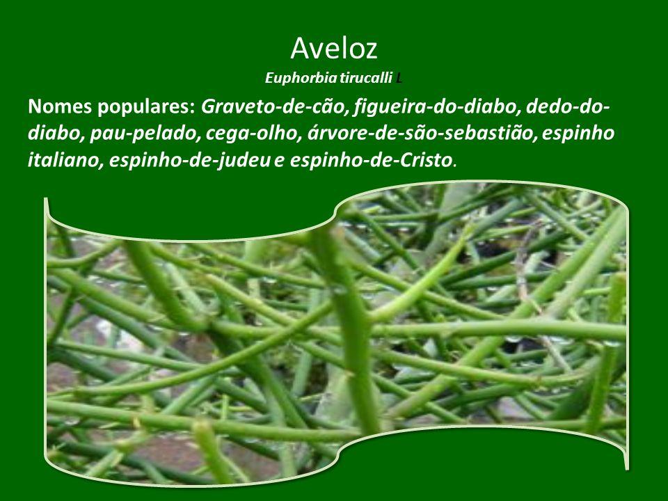 Aveloz Euphorbia tirucalli L Nomes populares: Graveto-de-cão, figueira-do-diabo, dedo-do- diabo, pau-pelado, cega-olho, árvore-de-são-sebastião, espin