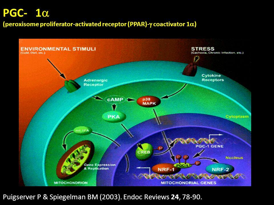 PGC- 1 (peroxisome proliferator-activated receptor (PPAR)- coactivator 1 ) Puigserver P & Spiegelman BM (2003). Endoc Reviews 24, 78-90.