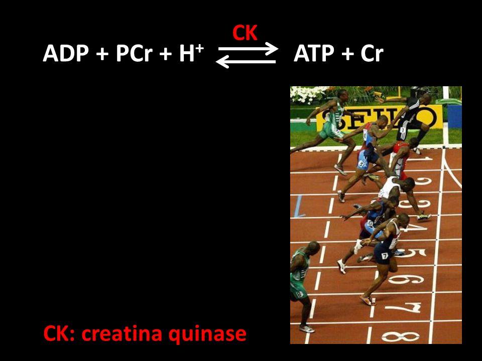 ADP + PCr + H + CK ATP + Cr CK: creatina quinase