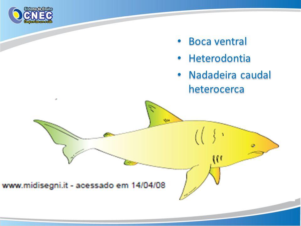 Boca ventral Heterodontia Nadadeira caudal heterocerca Boca ventral Heterodontia Nadadeira caudal heterocerca