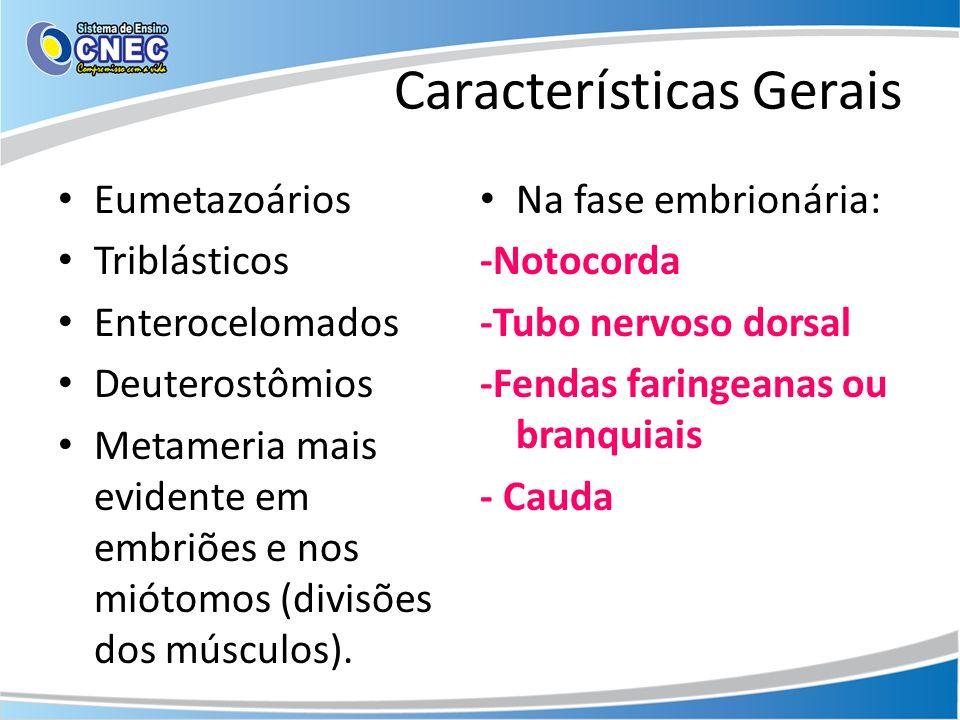 Características Gerais Eumetazoários Triblásticos Enterocelomados Deuterostômios Metameria mais evidente em embriões e nos miótomos (divisões dos músc