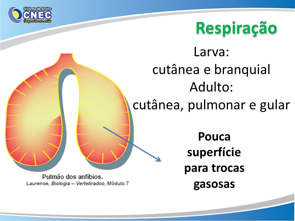 Respiração Pouca superfície para trocas gasosas Larva: cutânea e branquial Adulto: cutânea, pulmonar e gular