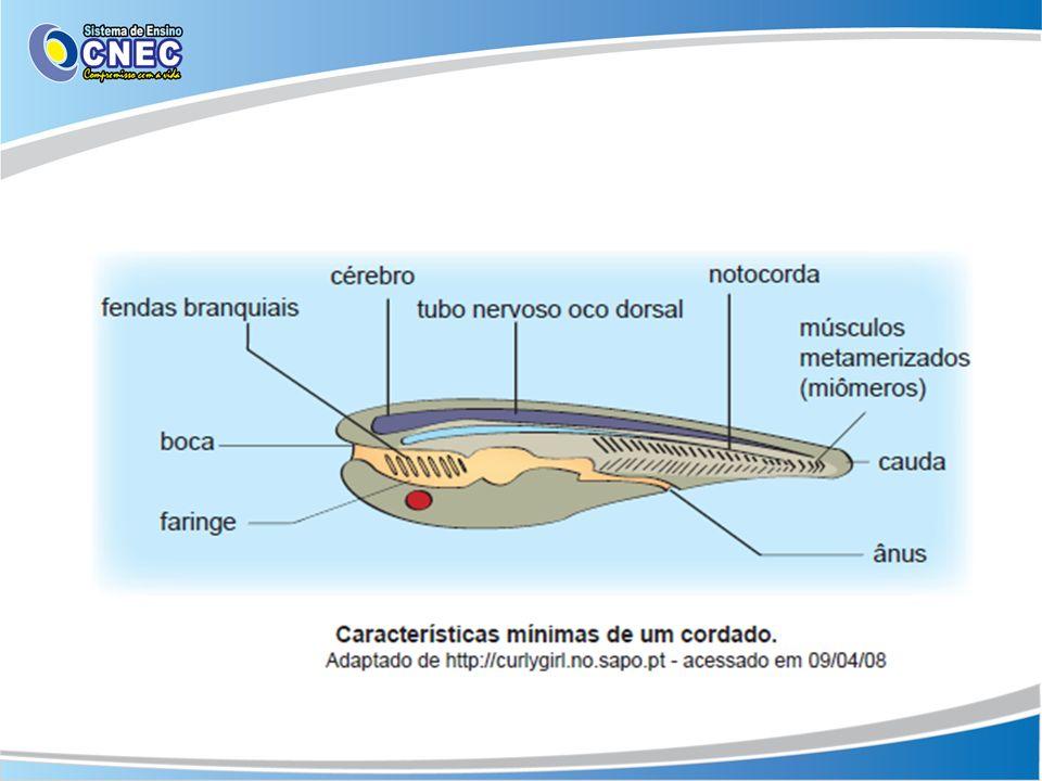 Classificação Protocordados ou Cordados Invertebrados