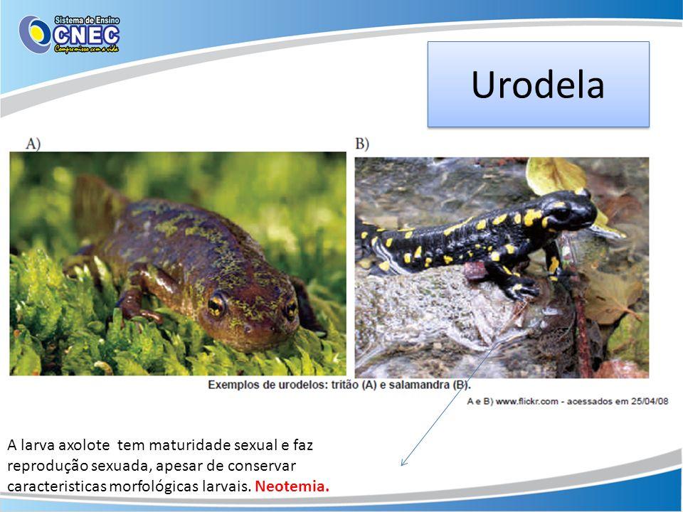 Urodela A larva axolote tem maturidade sexual e faz reprodução sexuada, apesar de conservar caracteristicas morfológicas larvais. Neotemia.