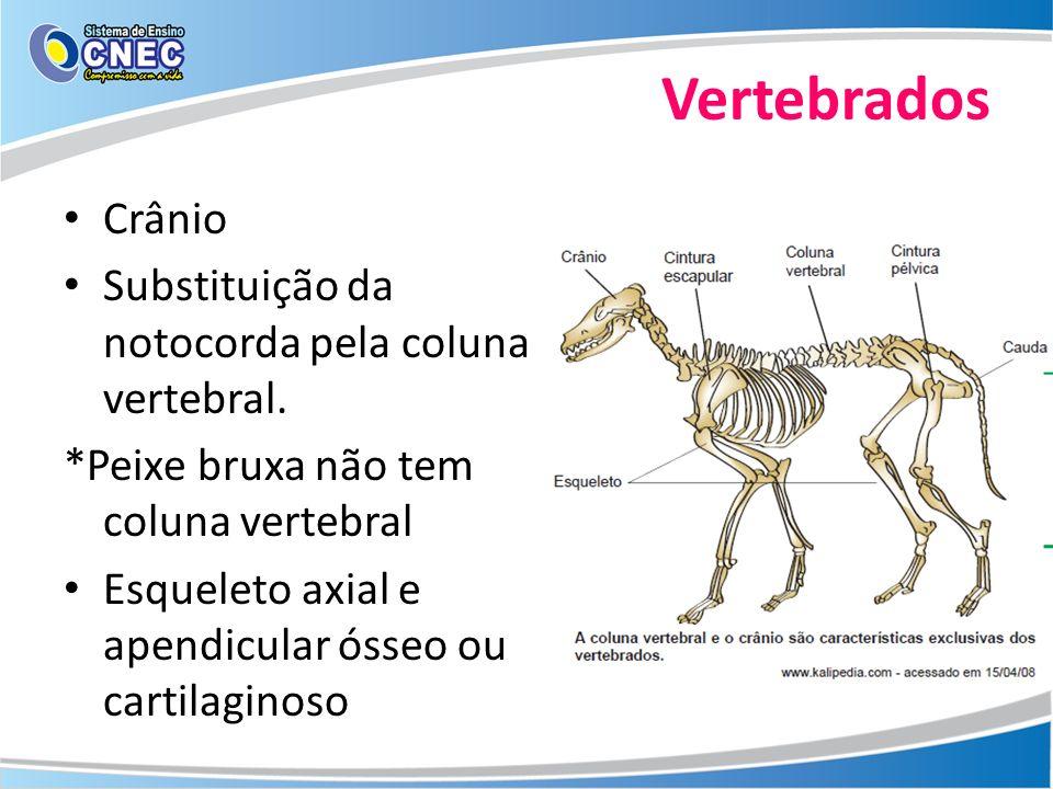 Vertebrados Crânio Substituição da notocorda pela coluna vertebral. *Peixe bruxa não tem coluna vertebral Esqueleto axial e apendicular ósseo ou carti