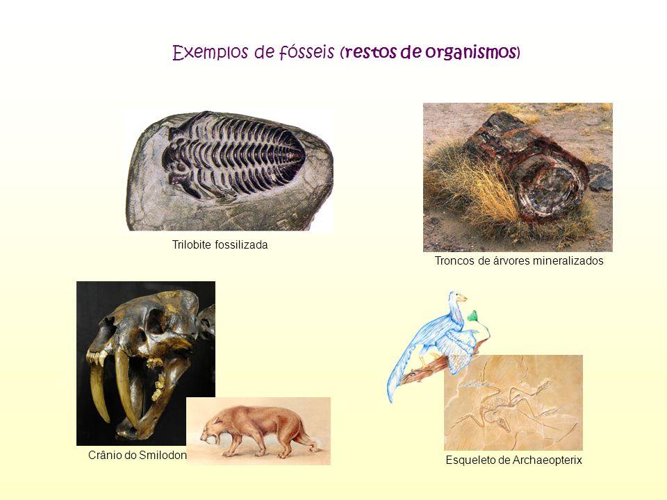 Crânio do Smilodon Esqueleto de Archaeopterix Trilobite fossilizada Troncos de árvores mineralizados Exemplos de fósseis (restos de organismos)