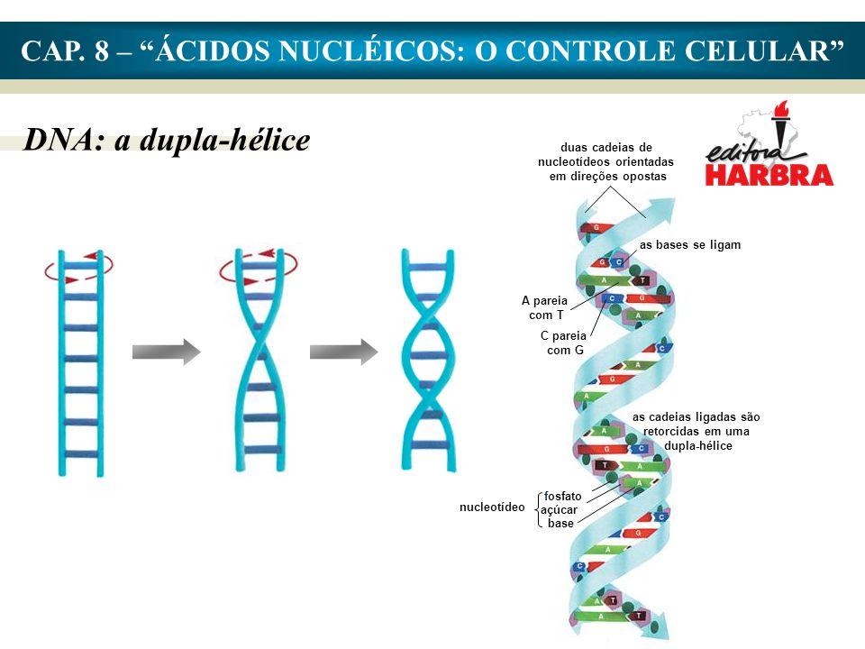 CAP. 8 – ÁCIDOS NUCLÉICOS: O CONTROLE CELULAR DNA: a dupla-hélice as cadeias ligadas são retorcidas em uma dupla-hélice duas cadeias de nucleotídeos o
