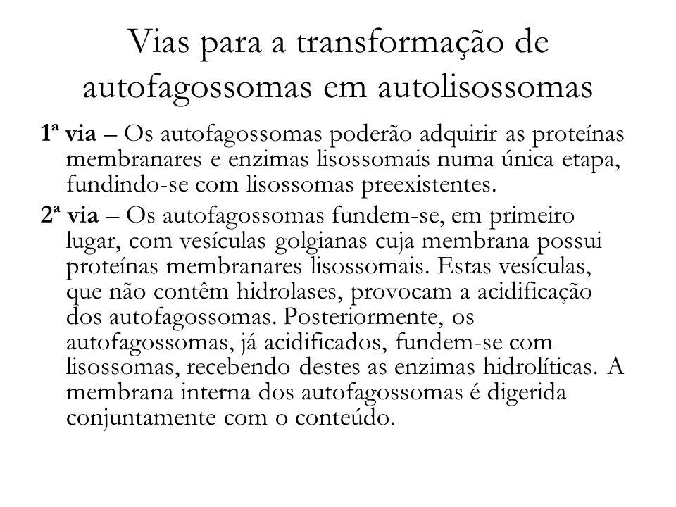 Vias para a transformação de autofagossomas em autolisossomas 1ª via – Os autofagossomas poderão adquirir as proteínas membranares e enzimas lisossoma