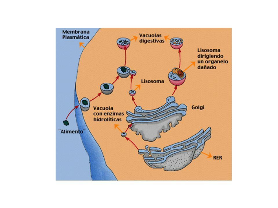 Tipos de lisossomas Lisossoma primário: pequenas vesículas sem substâncias em digestão.