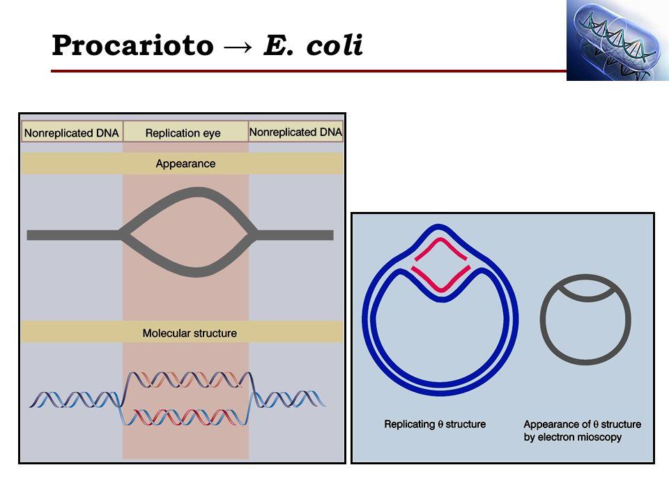 Procarioto E. coli