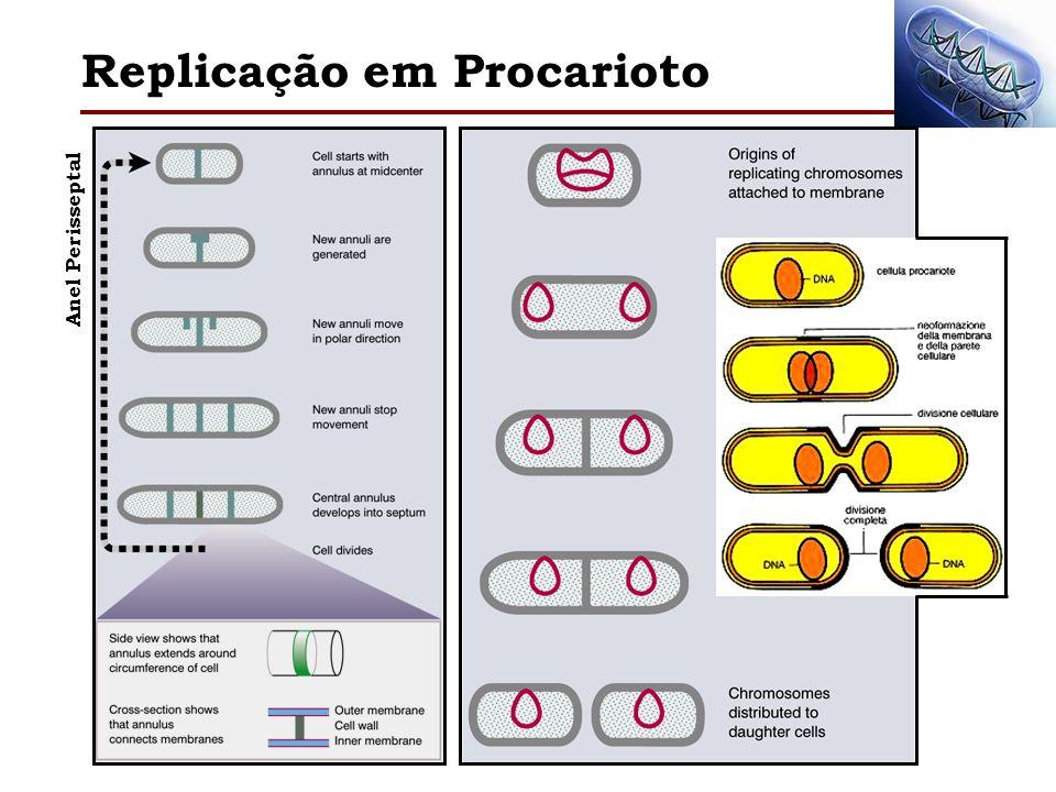 Replicação em Procarioto Anel Perisseptal