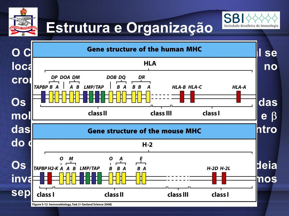 O Complexo de Histocompatibilidade Principal se localiza no cromossomo 6 no homem e no cromossomo 17 nos camundongos; Estrutura e Organização Os genes que codificam as cadeias das moléculas de MHC de classe I e as cadeias e das moléculas MHC de classe II situam-se dentro do complexo; Os genes para microglobulina 2 e a cadeia invariável encontram-se em cromossomos separados – cromossomos 15 e 5;