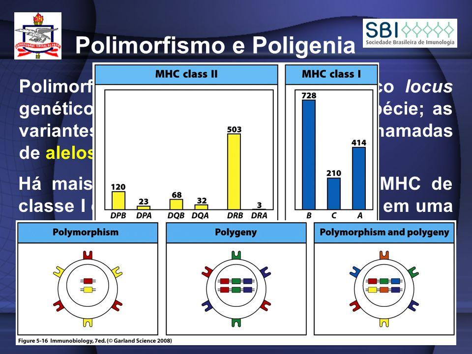 Polimorfismo e Poligenia Polimorfismo é a variação em um único locus genético e em seu produto em uma espécie; as variantes genéticas de um locus são chamadas de alelos; Há mais de 200 alelos de alguns loci MHC de classe I e II, cada alelo estando presente em uma freqüência relativamente alta na população; Por essas razões, a chance segundo a qual o correspondente locus MHC em ambos os cromossomos de um indivíduo irá codificar o mesmo alelo é pequena;
