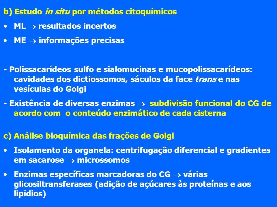b) Estudo in situ por métodos citoquímicos ML resultados incertos ME informações precisas - Polissacarídeos sulfo e sialomucinas e mucopolissacarídeos: cavidades dos dictiossomos, sáculos da face trans e nas vesículas do Golgi - Existência de diversas enzimas subdivisão funcional do CG de acordo com o conteúdo enzimático de cada cisterna c) Análise bioquímica das frações de Golgi Isolamento da organela: centrifugação diferencial e gradientes em sacarose microssomos Enzimas específicas marcadoras do CG várias glicosiltransferases (adição de açúcares às proteínas e aos lipídios)