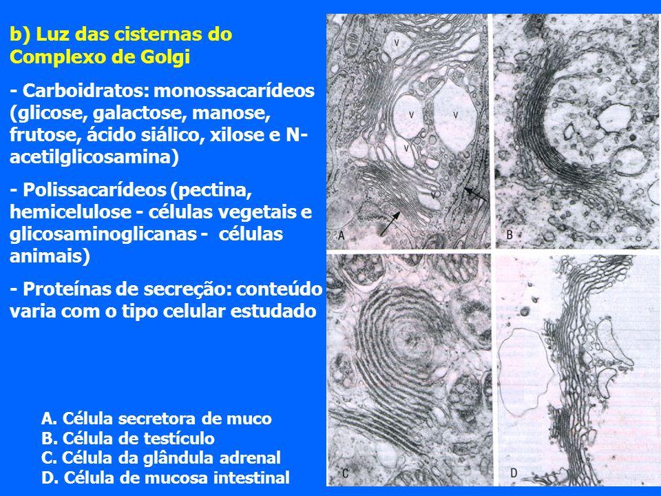 b) Luz das cisternas do Complexo de Golgi - Carboidratos: monossacarídeos (glicose, galactose, manose, frutose, ácido siálico, xilose e N- acetilglicosamina) - Polissacarídeos (pectina, hemicelulose - células vegetais e glicosaminoglicanas - células animais) - Proteínas de secreção: conteúdo varia com o tipo celular estudado A.