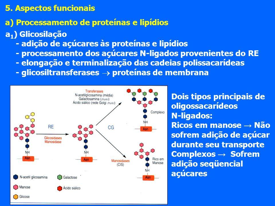 a 1 ) Glicosilação - adição de açúcares às proteínas e lipídios - processamento dos açúcares N-ligados provenientes do RE - elongação e terminalização das cadeias polissacarídeas - glicosiltransferases proteínas de membrana 5.