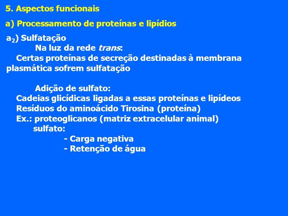a 2 ) Sulfatação Na luz da rede trans: Certas proteínas de secreção destinadas à membrana plasmática sofrem sulfatação Adição de sulfato: Cadeias glicídicas ligadas a essas proteínas e lipídeos Resíduos do aminoácido Tirosina (proteína) Ex.: proteoglicanos (matriz extracelular animal) sulfato: - Carga negativa - Retenção de água 5.