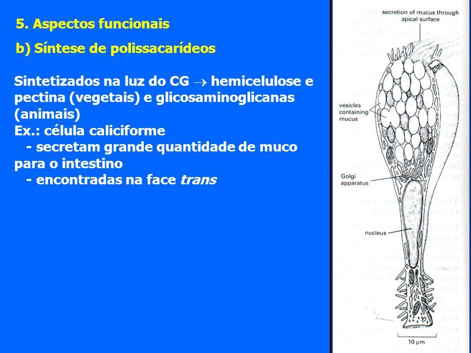 Sintetizados na luz do CG hemicelulose e pectina (vegetais) e glicosaminoglicanas (animais) Ex.: célula caliciforme - secretam grande quantidade de muco para o intestino - encontradas na face trans 5.