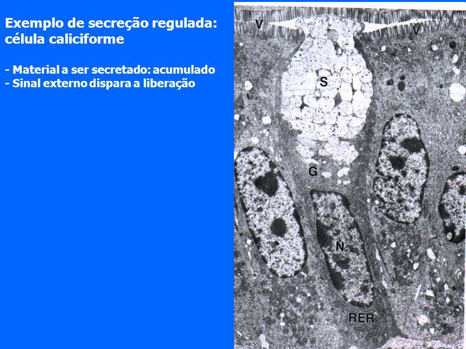 Exemplo de secreção regulada: célula caliciforme - Material a ser secretado: acumulado - Sinal externo dispara a liberação